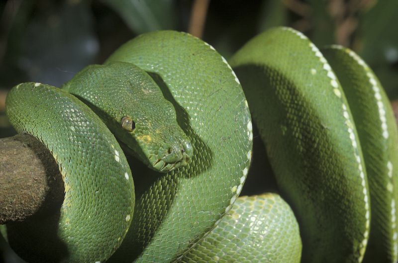 The Green Python, Morelia viridis, from the rainforests of Cape York Peninsula.