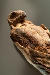Mummified hawk