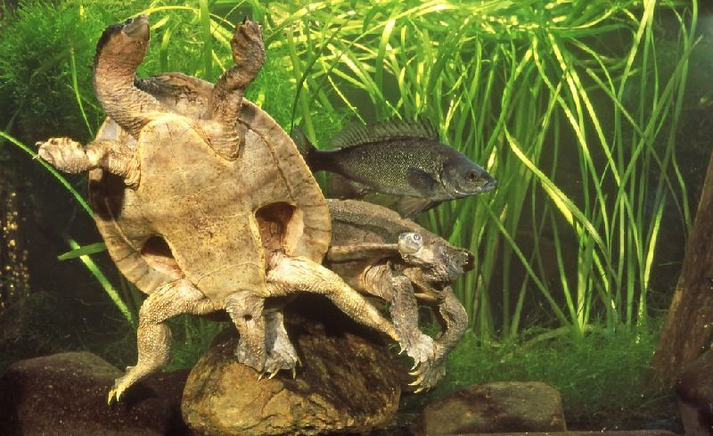 Freshwater turtles - Queensland Museum