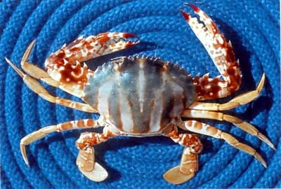 Coral Swimmer Crab (Charybdis feriatus). Photo courtesy of Grant's Guide to Fishes
