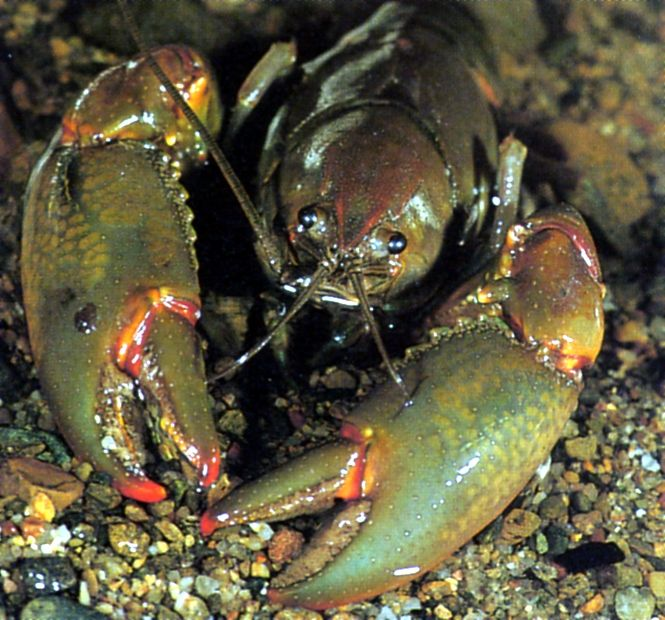 Orange-fingered Yabby, Cherax depressus
