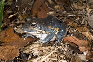 Eastern Sedgefrog - Museum of Tropical Qld
