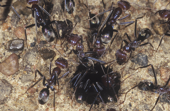 Southern Meat Ant workers