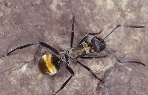 Golden-tailed Spiny Ant, Polyrhachis ammon