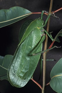 Giant Shield-back Bush-Cricket (Siliquofera grandis)