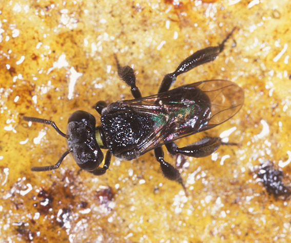 An Australian native stingless bee, Trigona carbonaria. These dark, compact bees are only around 4 mm in length.