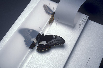 A moth and butterfly being set with their wings held in the correct position by tracing paper.
