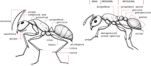 A side view of two ants showing their important body regions and features.