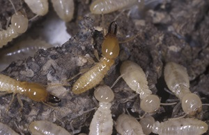 Although they are sometimes called 'white ants', termites are not ants at all, but are more closely related to cockroaches.