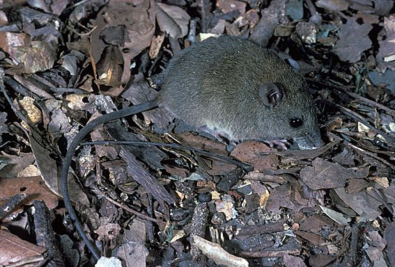 http://www.qm.qld.gov.au/Find+out+about/Animals+of+Queensland/Mammals/Common+mammals+of+south-east+Queensland/Rats+and+Mice/~/media/7E6D30DE5C7444B8AEDC488AA307AF9C.ashx?h=305&w=450&as=1
