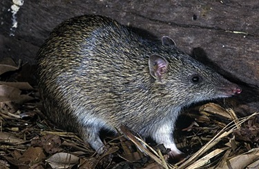 Northern Brown Bandicoot (Isoodon macrourus)