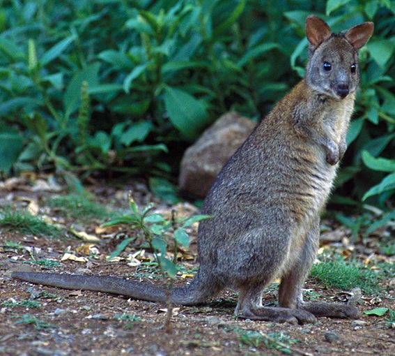 Red-necked Pademelon (Thylogale thetis)