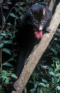 Short-eared Mountain Possum (Trichosurus caninus)