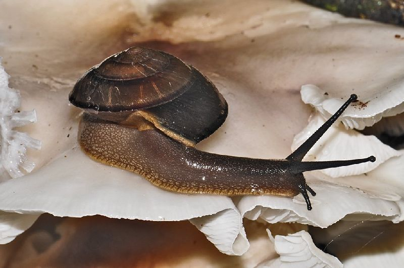 Richmond River Keeled Snail (Thersites richmondiana), Photo by: Stewart Webber