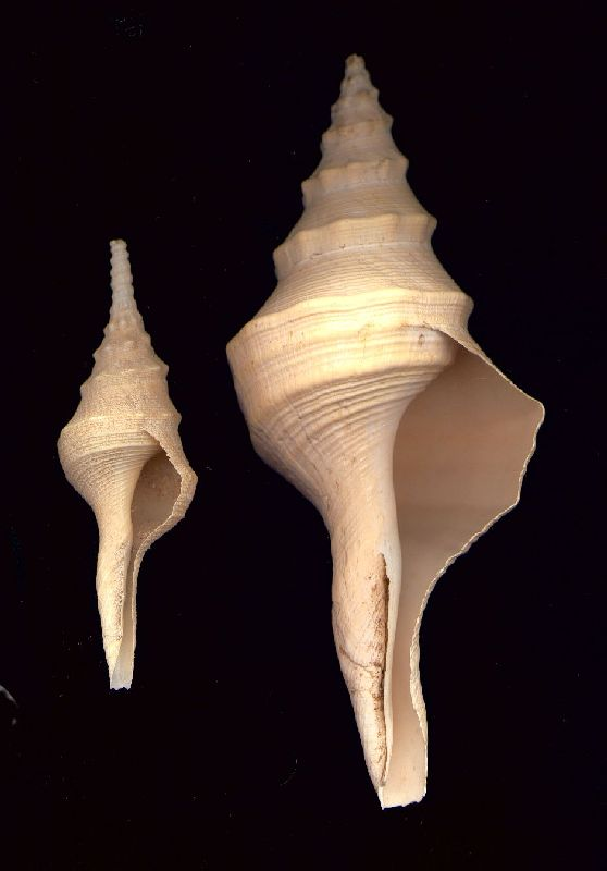 The Giant Whelk (Syrinx aruanus): Adult and juvenile shells.