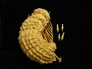 Egg Case of the Giant Whelk (Syrinx aruanus): beached and dried egg case here shown attached to a gorgonian (fan) coral. Shells of young (from the egg case) are also shown.