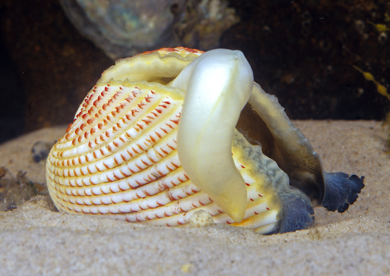 Shell of the Strawberry Cockle showing distinctive red scales.