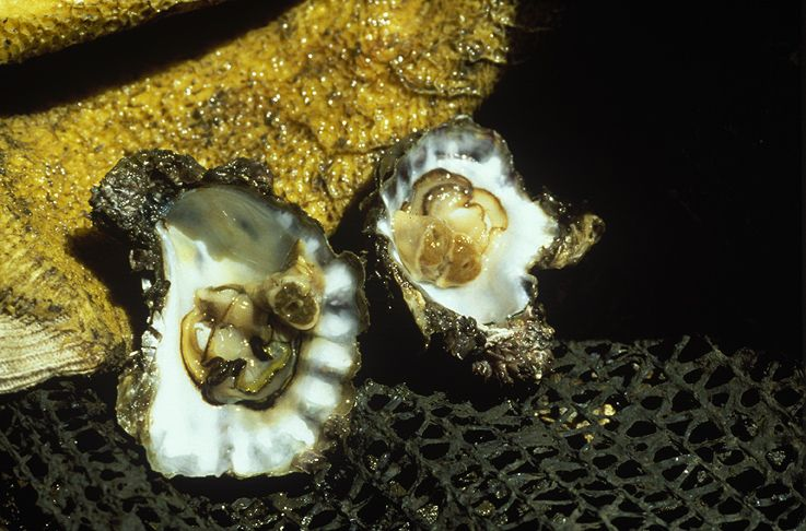 Healthy oyster and QX-disease-infected oyster