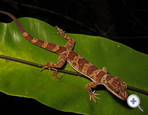 Iron Range Ring Tailed Gecko Queensland Museum