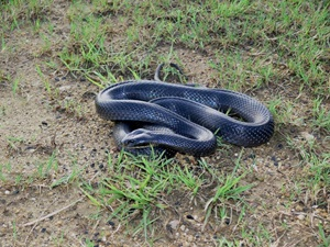 Image result for papuan black snake