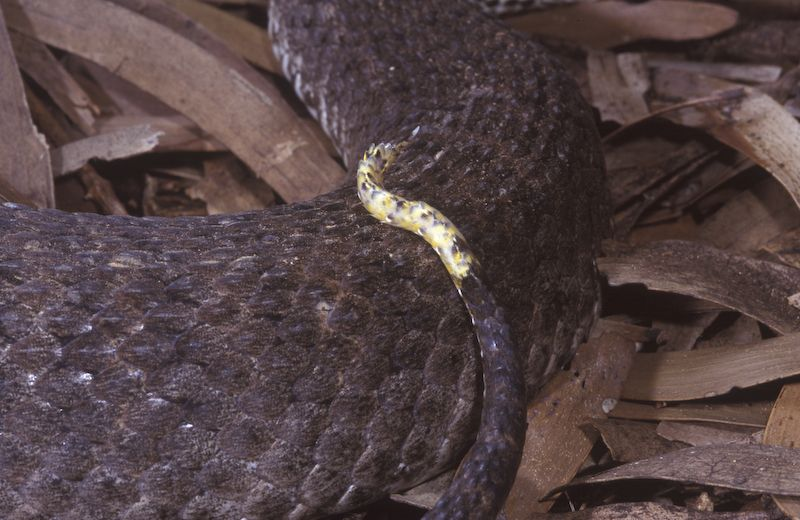 The caudal lure of a Common Death Adder.