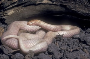 albino White-crowned Snake