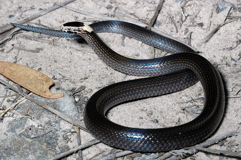 White-crowned Snake (Cacophis harriettae)