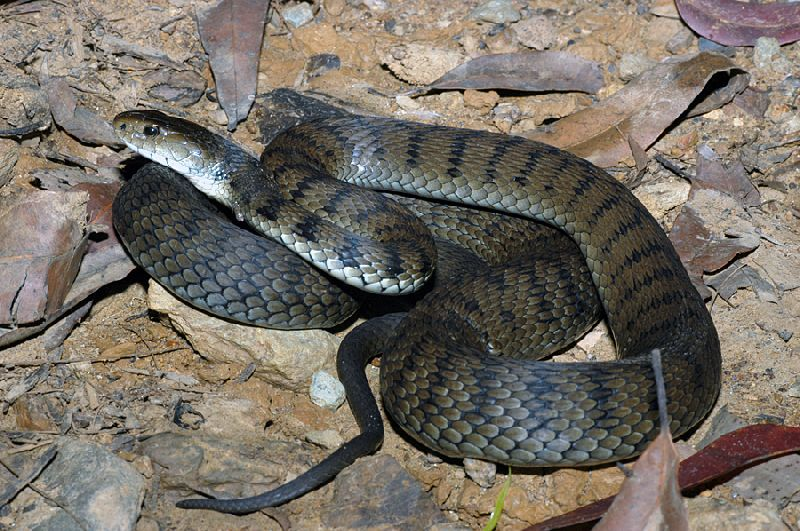 Rough-scaled Snake (Tropidechis carinatus)