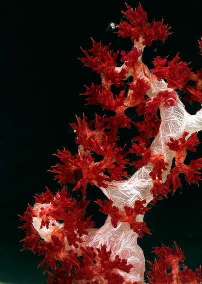 Prickly Red Tree Coral (Dendronepthya sp.)