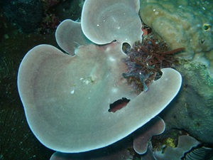 Collospongia auris, containing symbiotic cyanobacteria