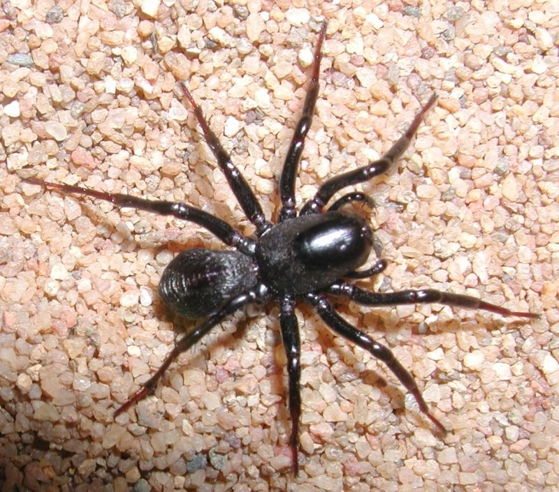 Brown Spider Yellow Spots http://www.qm.qld.gov.au/Find+out+about/Animals+of+Queensland/Spiders/Modern+Spiders+Infraorder+Araneomorphae/Ant+Spiders