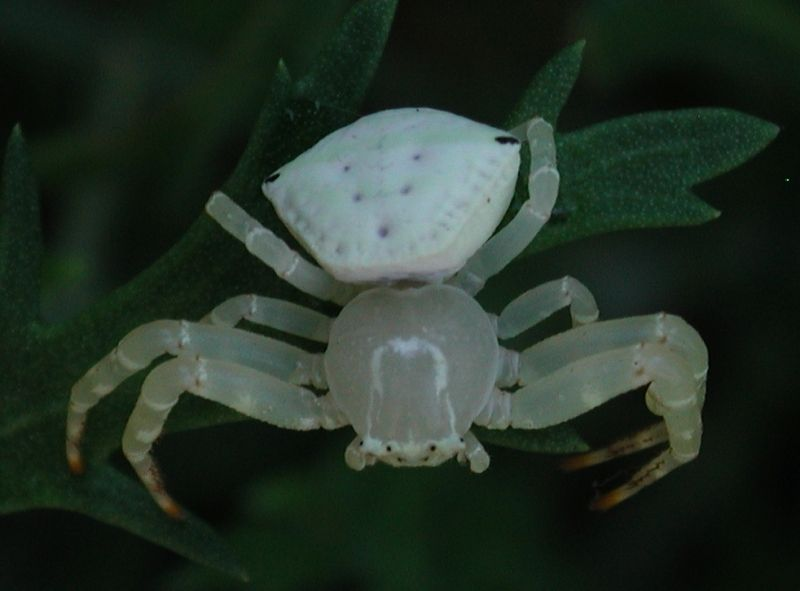 Crab spiders queensland museum crab or flower spider thomisus spectabilis family thomisidae mightylinksfo