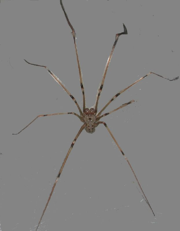 Western daddy-long-legs, Pholcidae, Artema atlanta, male
