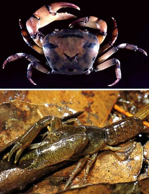 Freshwater Tiger Crab (Austrothelphusa tigrina) and Swamp Crayfish (Tenuibranchiurus glypticus)