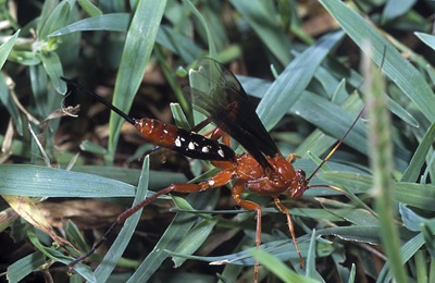 Wasp, Lissipimpla excelsa, sitting on grass.