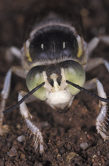 Head and front legs of a wasp, Bembix octosetosa