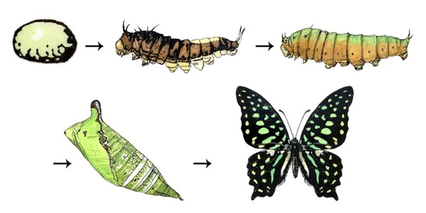 Illustration of stages of abrupt metamorphosis in a butterfly