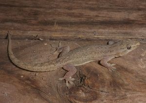 Asian House Gecko (Hemidactylus frenatus)