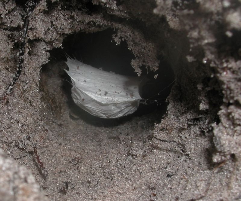 Golden Trapdoor spider with egg sac, Idiopidae, Euoplos