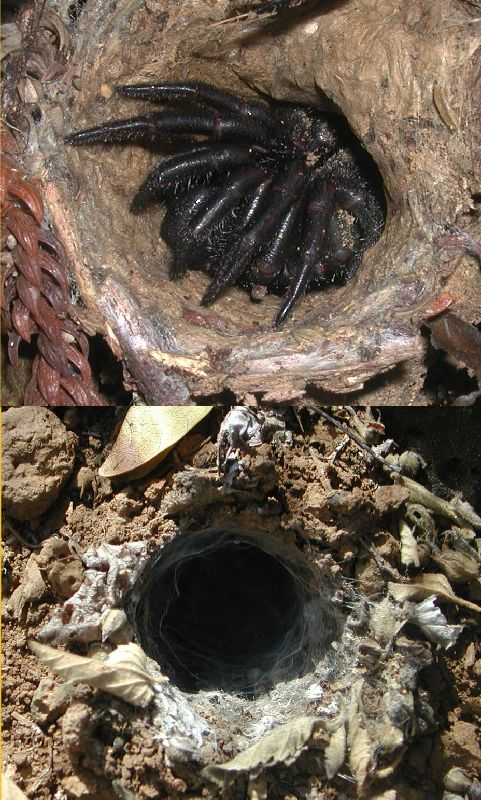 Trapdoor spider, Idiopidae, burrow entrance