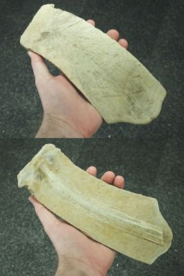 An isolated pleural bone from a marine turtle