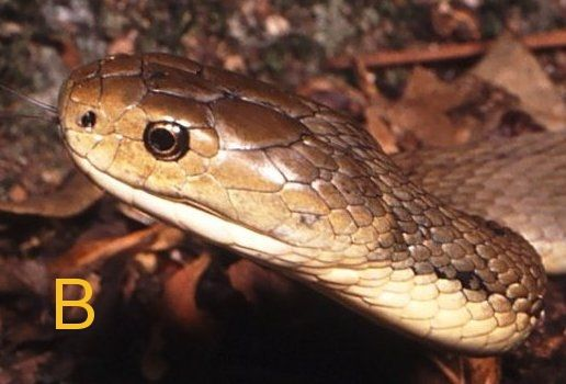 Rough-scaled Snake Tropidechis carinatus Photo: Steve Wilson