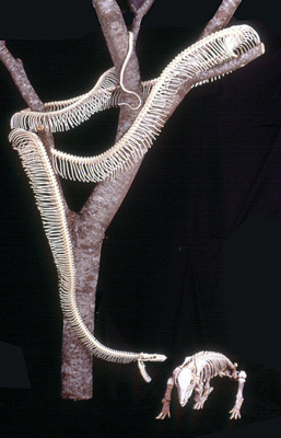 Reticulated python and pig skeletons