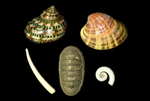 Classes of Mollusca. Top row: Gastropoda (turban snail), Bivalvia (venus clam); Bottom row: Scaphopoda (tusk shell), Polyplacophora (chiton), Cephalopoda (tail-light squid shell)