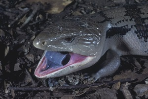 Blue-tongue Lizard (Tiliqua scincoides)