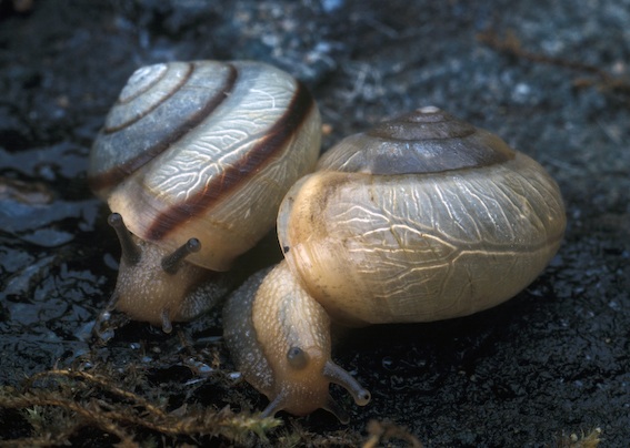Bradybaena similaris