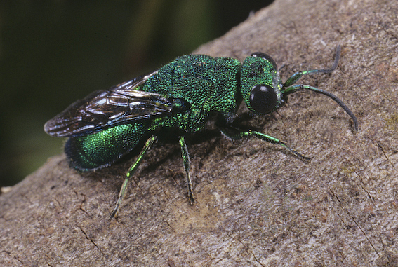 Irridescent green cuckoo wasp
