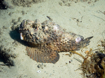 Estuarine Stonefish, Synanceia horrida (Wild Guide to Moreton Bay)