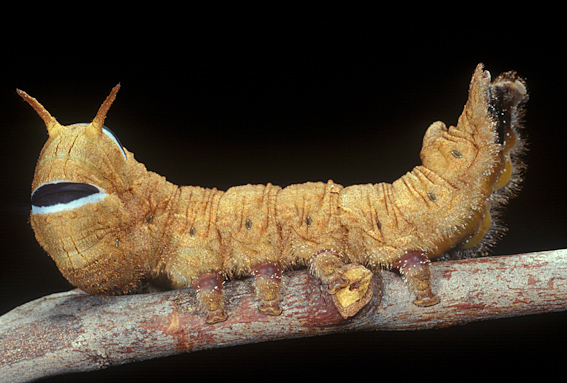 One of our more bizarre caterpillars, a species of snout moth from the genus Entometa.