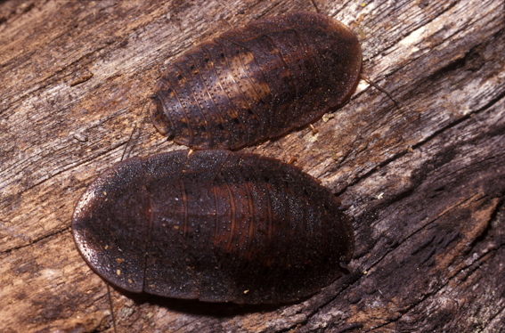 Two Trilobite Cockroaches (Laxta spp.)